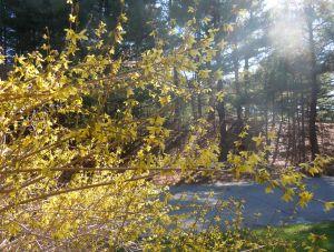 Early Spring Forsythia-1