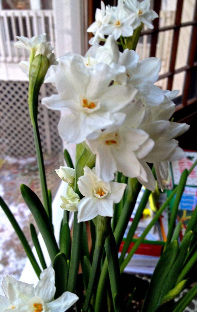 Paperwhites full bloom