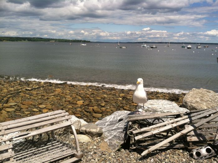 Maine Seagull on lobster trap